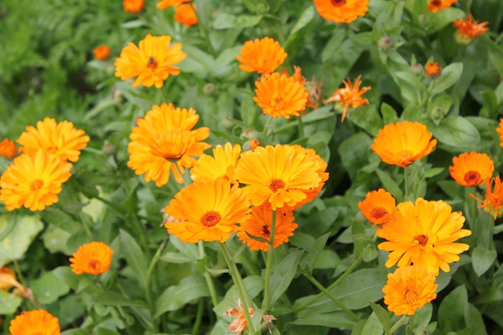 ringelblumen viel orange.JPG