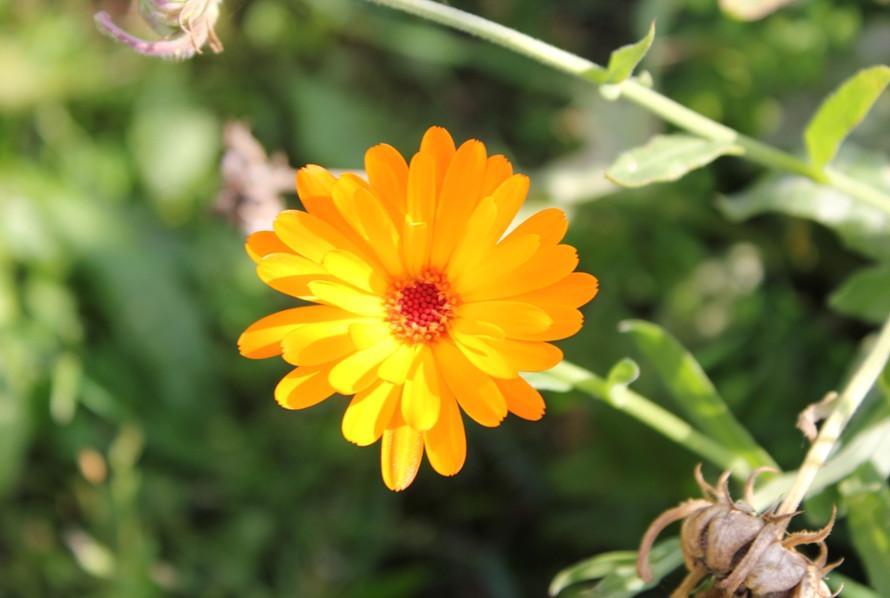 Ringelblume orange1