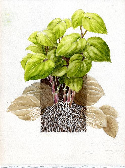 Awa Plant