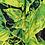 Thumbnail: Kalo Forest