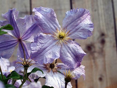 Клематис крупноцветковый Датч Скай