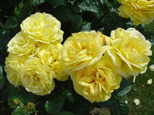 Роза плетистая Люция (горшок 5л)