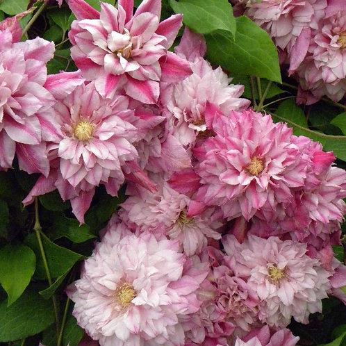 Клематис крупноцветковый Патрисия Энн Фретвелл (горшок 3л)
