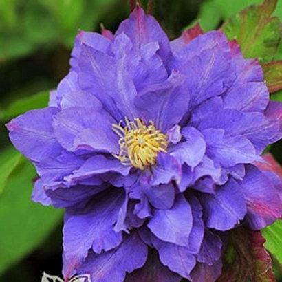Клематис крупноцветковый Вивьен Пеннел