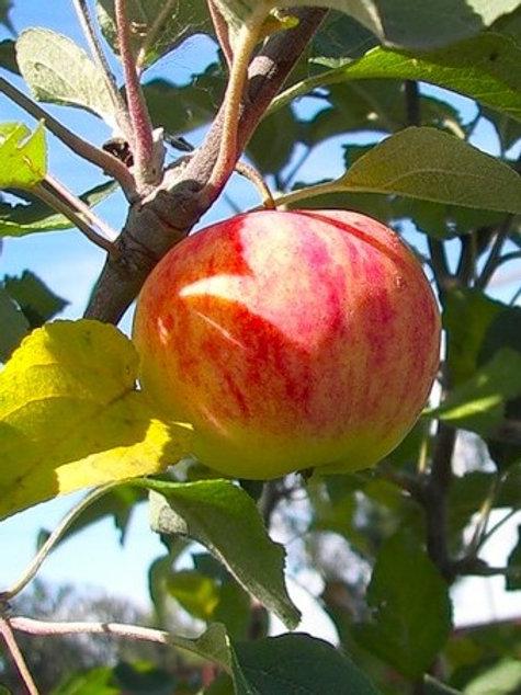 Яблоня Россошанское Полосатое (3-х летка)