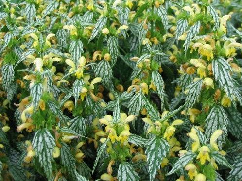 Ламиаструм или зеленчук  (горшок 1л)