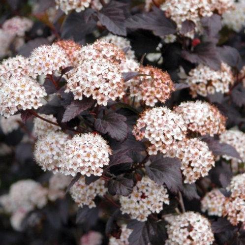 Пузыреплодник калинолистный Пурпуреа (горшок 5л)