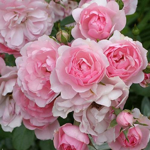 Роза почвопокровная Боника (горшок 5л)