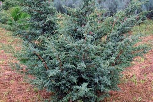 Можжевельник чешуйчатый Блю Альпс (горшок 2л)