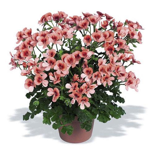 Пеларгония виолоцветковая