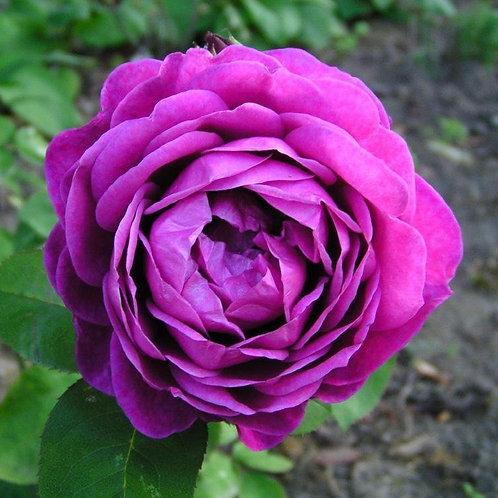 Роза флорибунда Олд Порт (горшок 5л)