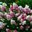 Thumbnail: Гортензия метельчатая Ванилла Фрейз (горшок 3л)