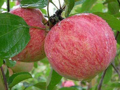 Яблоня Коричное Полосатое (горшок 5л)