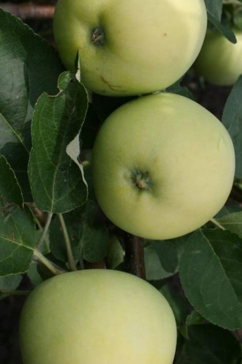 Яблоня Белый налив (горшок 5л)
