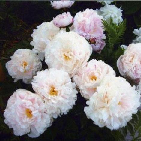 Пион травянистый Леди Александра Дафф   (горшок 5л)