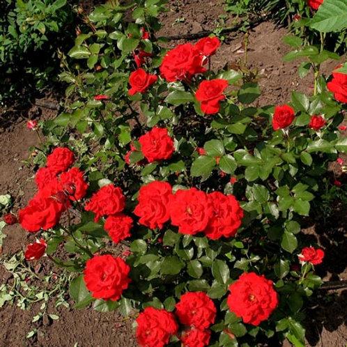 Роза флорибунда Нина Вейбул (горшок 5л)