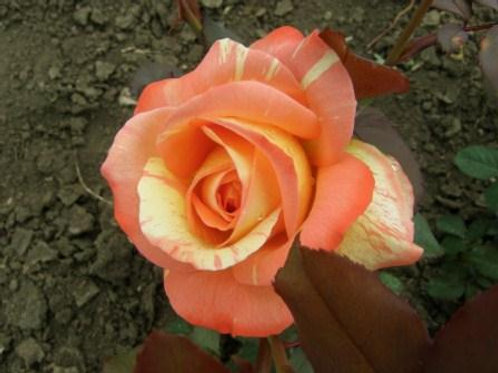 Роза чайно-гибридная Марвелл (горшок 5л)