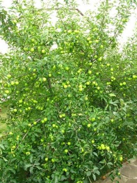 Яблоня Лимонное крупное