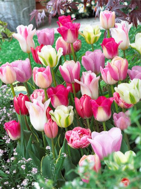 """Тюльпан смесь """"Розовый щербет"""" (15 луковиц)"""