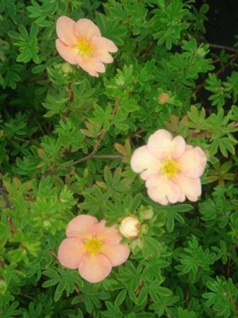 Лапчатка кустарниковая Танжерин (курильский чай) горшок 3л