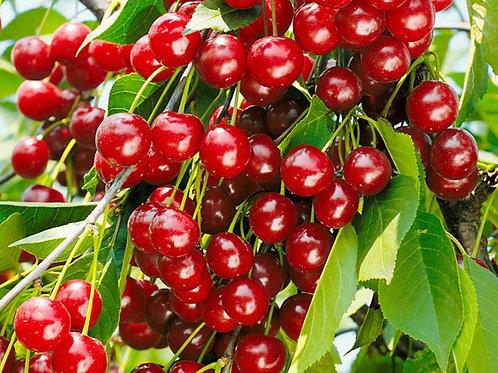 Долгожданная - церападус гибрид черемухи и вишни .