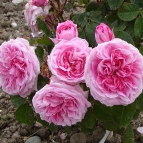 Роза Английская Гертруда Джекил (горшок 4л)