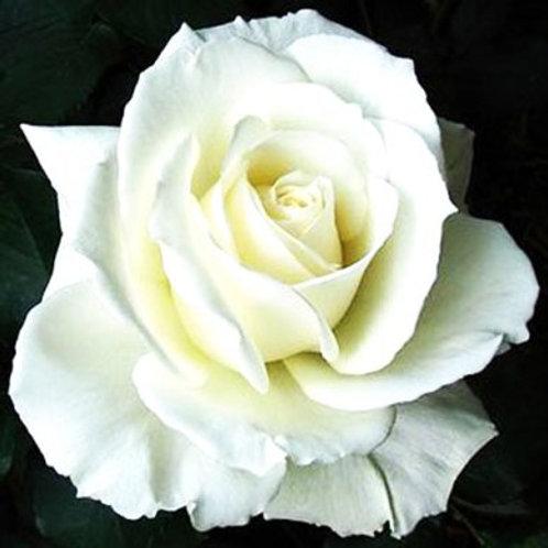 Роза чайногибридная Тинеке (горшок 5л)