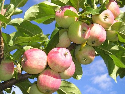 Яблоня карликовая Приземленное (горшок 5л)