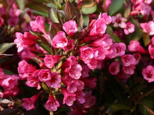 Вейгела цветущая Александра