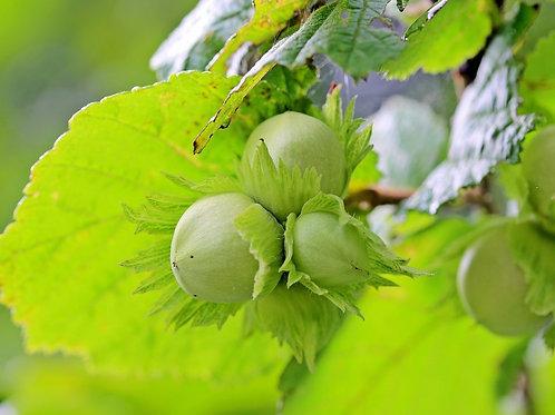 Фундук зелёный (горшок 3л)