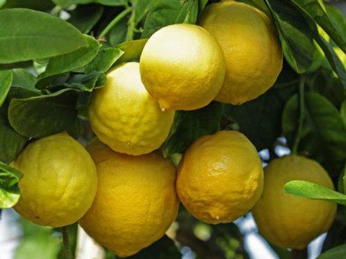 Лимон Юбилейный (горшок 1.5 л)