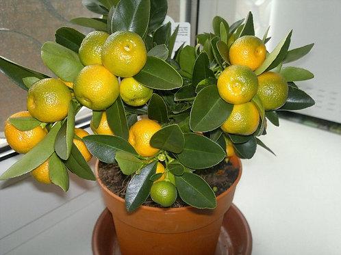 Цитрус мандарин