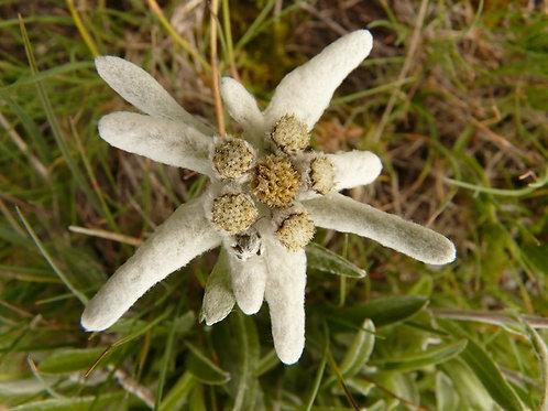 Эдельвейс альпийский (горшок 1л)