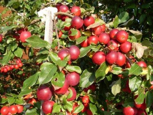 Яблоня Китайка Керр (горшок 5л)
