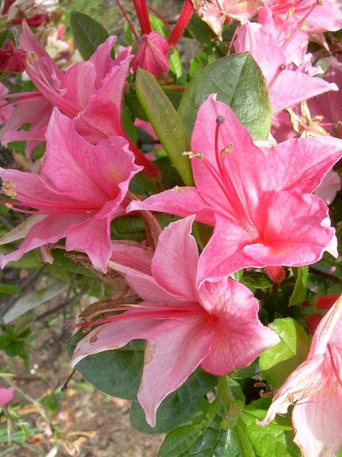 Рододендрон листопадный Розовый