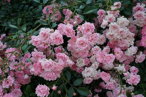 Роза почвопокровная Зе Фейри (горшок 5л)