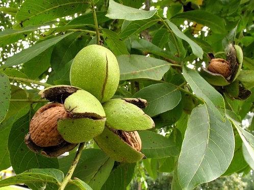 Грецкий орех Региа