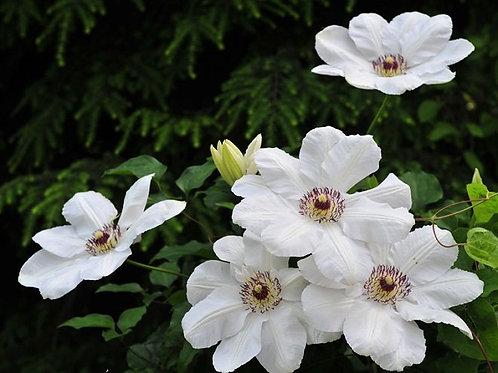Клематис крупноцветковый Мария Качинская