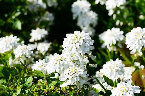 Иберис вечнозеленый Вайтаут (горшок 1л)