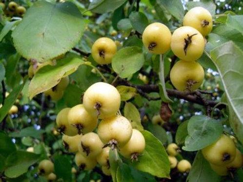 Яблоня Китайка золотая (горшок 7.5л; саженцы 2-х летка)