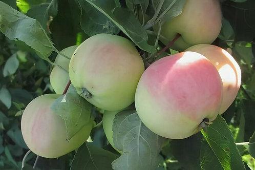 Яблоня Северная заря