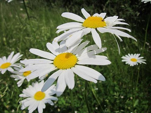 Нивяник Серебряная принцесса (ромашка садовая) горшок 2л