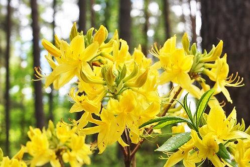 Рододендрон  японский жёлтый (горшок 2л)