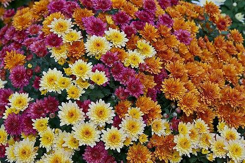 Хризантема (горшок 0.4л)
