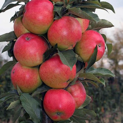 Яблоня колоновидная Валюта (горшок 7л;3-х летка)
