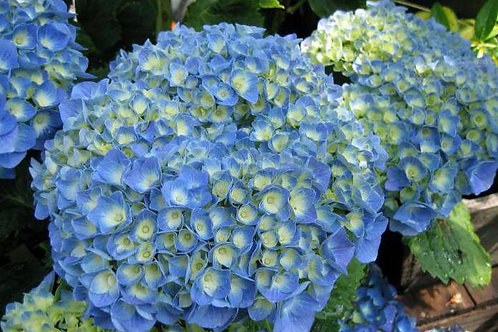 Гортензия крупнолистная  Блю Пауэр (Голубая власть)