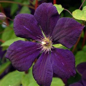 Клематис крупноцветковый Негритянка (горшок 2л)