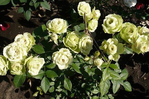 Роза флорибунда лавли грин (горшок 5л)
