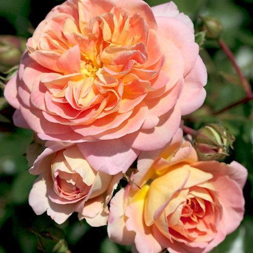 Роза кустовая концерто 94 (горшок 4л)