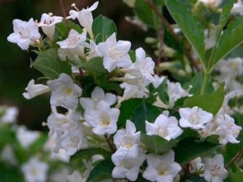 Вейгела цветущая Бристол Сноуфлейк (горшок 2л)